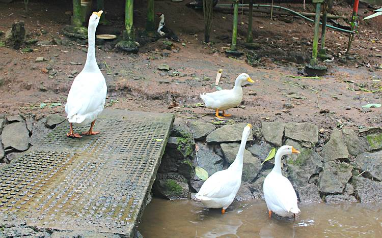 The geese at Shalimar are unequivocally the most vocal of its residents